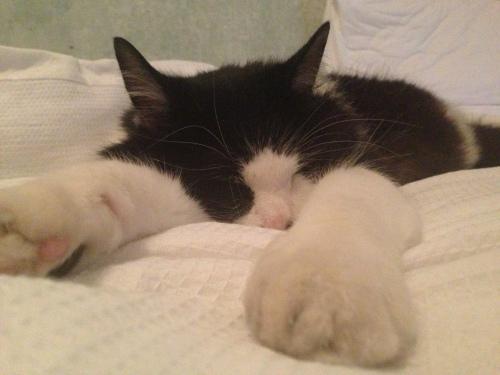Norwegian Forrest Cat on bed